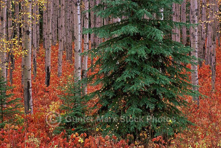 Trembling Aspen Trees / Aspens (Populus tremuloides), Mount Robson Provincial Park, BC, British Columbia, Canada - Autumn / Fall
