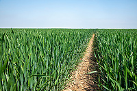 Winter wheat coming into ear - Lincolnhsire, June