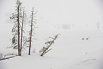 Two wolves from the Druid pack run across the snowy landscape of Yellowstone National Park, Wyoming.