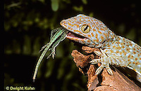 GK30-001x  Tokay Gecko - eating lizard  prey -  Gekko gecko