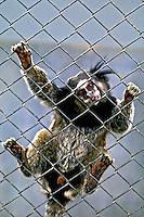 Animais. Mamiferos. Primatas. Macacos Sagui da cara branca (Callithrix geoffroyi).  Foto de Juca Martins.