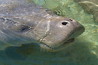 Florida manatee, Trichechus manatus latirostris, a subspecies of the West Indian manatee, Trichechus manatus. breathing, Crystal River, Florida, USA