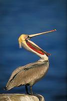 Brown Pelican. La Jolla California, La Jolla Coves.
