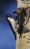 Tree Swallow (Tachycineta bicolor), pair at nesting cavity in aspen tree, Rocky Mountain National Park, Colorado, USA