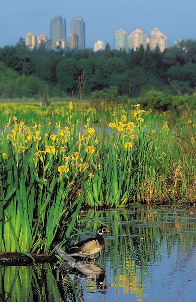 Wood Duck drake and yellow irises. Spring. Burnaby, British Columbia, Canada. (Aix sponsa).