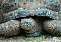 Giant tortoise.