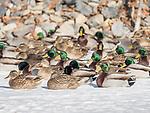 Mallard ducks resting on iced pond in winter.