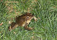 0304-0922  American Toad on Grass in Backyard, © David Kuhn/Dwight Kuhn Photography, Anaxyrus americanus, formerly Bufo americanus