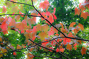 Red Maple - (Acer rubrum l) - during the summer months in Albany, New Hampshire USA