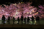 People look at the cherry blossoms in full bloom illuminated in Roppongi Midtown on April 1, 2016, Tokyo, Japan. On Thursday, the Japan Meteorological Agency announced that Tokyo's cherry trees were in full bloom, three days earlier than usual, but two days later than last year. The spot starts at the pedestrian bridge in Midtown Tower towards to the Hinokicho Park in Roppongi. (Photo by Rodrigo Reyes Marin/AFLO)
