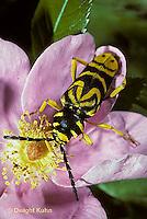 1C25-007z   Sugar Maple Borer Beetle - Glycobius speciosus