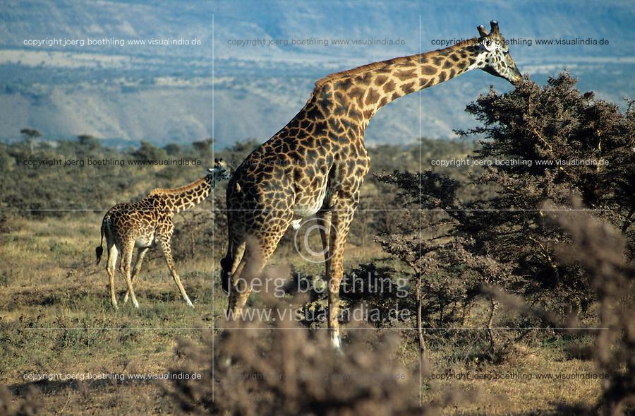 "Afrika Ostafrika Tansania Nationalpark Serengeti , Giraffe. -  Wildlife Natur xagndaz   .East africa Tanzania Nationalpark Serengeti , giraffe.  -  nature wildlife .  [ copyright (c) Joerg Boethling / agenda , Veroeffentlichung nur gegen Honorar und Belegexemplar an / publication only with royalties and copy to:  agenda PG   Rothestr. 66   Germany D-22765 Hamburg   ph. ++49 40 391 907 14   e-mail: boethling@agenda-fototext.de   www.agenda-fototext.de   Bank: Hamburger Sparkasse  BLZ 200 505 50  Kto. 1281 120 178   IBAN: DE96 2005 0550 1281 1201 78   BIC: ""HASPDEHH"" ,  WEITERE MOTIVE ZU DIESEM THEMA SIND VORHANDEN!! MORE PICTURES ON THIS SUBJECT AVAILABLE!! ] [#0,26,121#]"