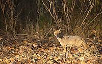 A golden jackal patrols Kanha National Park.