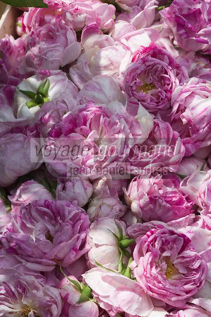 Europe/France/Bretagne/35/Ille et Vilaine/Bonnemain: Roses de Provins dans  le Jardin de Nadia  Romé à la Ferme des  Portes (herbes aromatiques,mesclun, légumes rares, volailles)