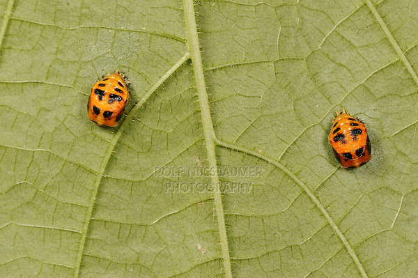Multicolored Asian lady beetle (Harmonia axyridis), pupa under leaf, New Braunfels, Hill Country, Central Texas, USA