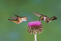 Broad-tailed Hummingbird, Selasphorus platycercus, male and female in flight feeding on Musk Thistle (Carduus nutans),Rocky Mountain National Park, Colorado, USA, June 2007