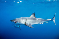 Two great white sharks, Isla Guadalupe, Mexico, Carcharodon carcharias, Mexico, East Pacific Ocean