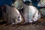 atlantic spadefish, 2 shot