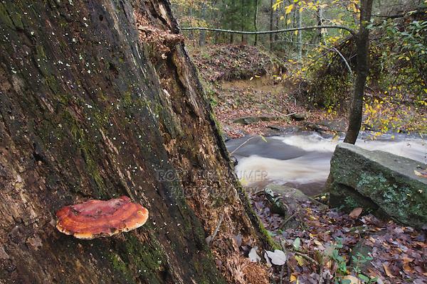 Mustard-Yellow Polypore (Phellinus gilvus) on dead tree, Rolesville Millpond Natural Area, North Carolina, USA