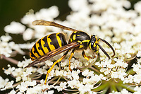 Common Aerial Yellowjacket (Dolichovespula arenaria)