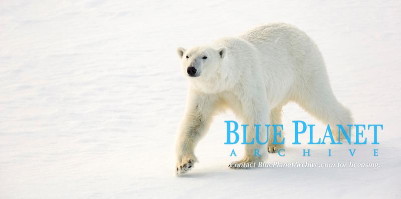 polar bear, Ursus maritimus, walking on ice, Svalbard, Norway