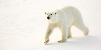 polar bear, Ursus maritimus, walking on ice, Svalbard, Norway