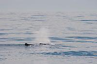 Auftauchender Pottwal, Pott-Wal, Pott - Wal, Blast, spritzt Wasser beim Ausatmen in die Luft, Nord - Norwegen, Physeter macrocephalus, Physeter catodon, Potwal, Cachalot, Kaschelot sperm whale, great sperm whale, cachalot
