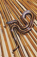Black-Striped Snake, Coniophanes imperialis, adult on dead palm frond, The Inn at Chachalaca Bend, Cameron County, Rio Grande Valley, Texas, USA