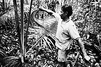 Índio Werekena, morador da comunidade de Anamoim no alto rio Xié, alisa as fibras da árvore de piaçaba (Leopoldínia píassaba Wall),antes de cortá-la. A  árvore que normalmente aloja os mais variados tipos de insetos representando um grande risco aos índios durante sua coleta . A fibra  um dos principais produtos geradores de renda na região é  coletada de forma rudimentar. Até hoje é utilizada na fabricação de cordas para embarcações, chapéus, artesanato e principalmente vassouras, que são vendidas em várias regiões do país.<br />Alto rio Xié, fronteira do Brasil com a Colômbia a cerca de 1.000Km oeste de Manaus.<br />06/06/2002.<br />Foto: Paulo Santos/Interfoto Expedição Werekena do Xié<br /> <br /> Os índios Baré e Werekena (ou Warekena) vivem principalmente ao longo do Rio Xié e alto curso do Rio Negro, para onde grande parte deles migrou compulsoriamente em razão do contato com os não-índios, cuja história foi marcada pela violência e a exploração do trabalho extrativista. Oriundos da família lingüística aruak, hoje falam uma língua franca, o nheengatu, difundida pelos carmelitas no período colonial. Integram a área cultural conhecida como Noroeste Amazônico. (ISA)