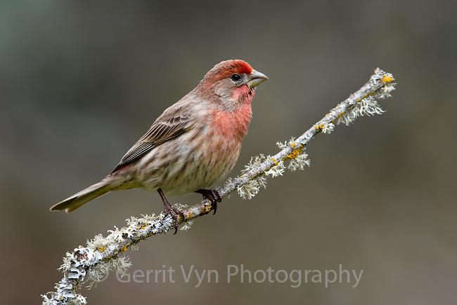 House Finch (Haemorhous mexicanus). Multnomah County, Oregon. March.
