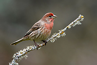 House Finch (Haemorhous mexicanus). Multnomah County, Oregon. March.