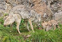 Wild Coyote (Canis latrans) mom regurgitating food for pups.  Western U.S., June.