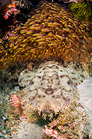A thick school of Golden sweepers, Parapriacanthus ransonneti, hovers above the camouflaged Tasselled wobbegong, Eucrossorhinus dasypogon. Alyui Bay, Waigeo, Raja Ampat, Papua, Indonesia,