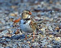 First-winter Harris's sparrow