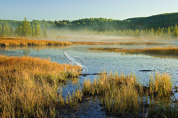 Autumn morning mist rises on marsh near Lake Opeongo in Algonquin Provincial Park, northern Ontario, Canada.