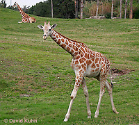 0212-08nn  Reticulated Giraffe, Giraffa camelopardalis reticulata © David Kuhn/Dwight Kuhn Photography