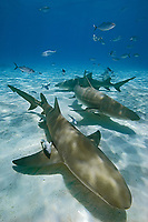 lemon sharks, Negaprion brevirostris, with sharksuckers, Echeneis naucrates, and blue runner jacks, Caranx crysos, West End, Grand Bahama, Bahamas, Caribbean, Atlantic Ocean