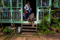 Suffering from severe diarrhea, the orphaned Mi Chaw attempts to climb into the house of vet Dr Myo Min Aung, who was looking after her . She can only take a few steps with the help of her new guardian. A group of bamboo cutters working in the jungle heard a wild elephant screaming near their work site. Afraid of a possible encounter, they made noises to chase it away. It is not unusual for wild elephants to come very close to human territory in Myanmar's forests due to deforestation from decades of industrial logging and plantations. Too late, they realised they had scared away a female elephant who had just given birth, leaving her newborn calf behind. Feeling sorry for the newborn, the villagers called Dr Myo Min Aung, a member of the EERU (Elephant Emergency Response Unit). He named the baby elephant Mi Chaw ('Beautiful Girl') and took care of her as if she were his own daughter.