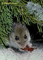 MU12-139z   Deer Mouse - eating berries - Peromyscus maniculatus