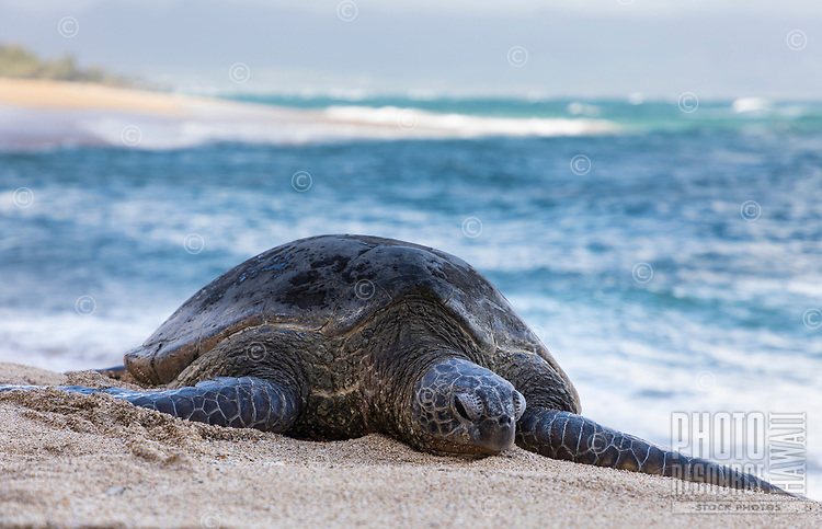 A resting hone (Hawaiian green sea turtle) at Baldwin Beach, Pa'ia, Maui.