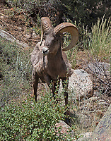 Big Horn sheep ram coming down mountain to drink and graze