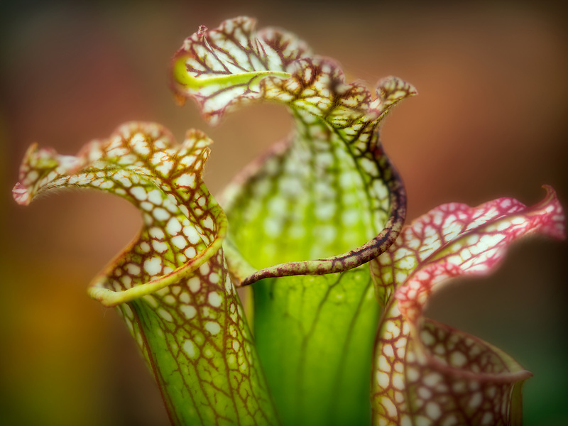 Close up of Dana's Delight Sarracenia picture plant flowers.
