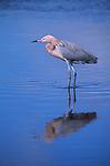 Reddish egret standing in water