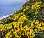 Coreopsis, Leo Carillo State Beach, Malibu, California