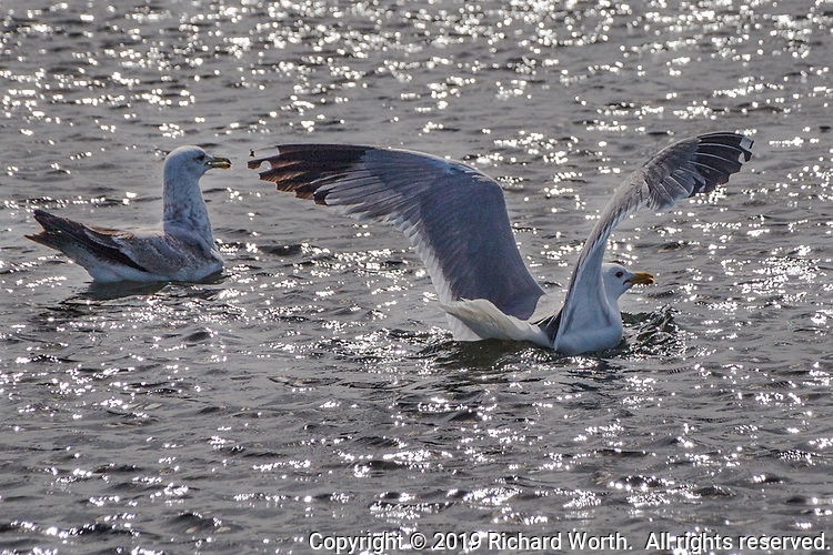 A California gull lands on the sparkling waters of the duck pond at San Lorenzo Community Park near San Francisco Bay, California.