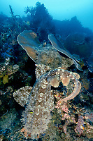 Two male tasselled wobbegong, Eucrossorhinus dasypogon, dueling for a chance to mate with a female, on the site Black Rock off Kerua Island Group, Raja Ampat, Indonesia, Indo- Pacific Ocean (do)