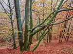 Beech forest in fall, Helsingborg region, Sweden