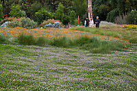 Kurapia , Phyla nodiflora, Turkey Tangle, Frog Fruit (Lippia nodiflora ) groundcover flowering in in Crescent Farm demonstration garden, Los Angeles County Arboretum and Botanic Garden