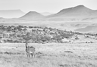 Mountain zebras only exist in small isolated pockets in southern Africa.  They have larger ears and brownish noses, compared to their more common cousins.<br /> <br /> This image is also available in color.