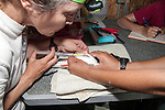 Implanting PIT tag under the skin of Endangered Roseate Tern, Bird Island, Marion, Massachusetts.